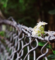 A flower in the fence.. (erlingraahede) Tags: flower fence holstebro denmark metal line vsco