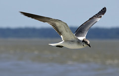 seagull (watts photos1) Tags: seagull bird birds nature seashore water sky blue river wings flight fly flying bif