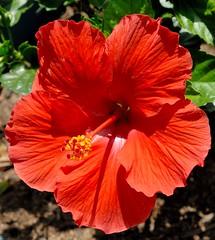 DSC_0003e ~ Hibiscus (BDC Photography) Tags: flower hibiscus nikon nikond200 tamronda09bayonetlenshood nikon67mmcircularpolarizeriifilter tamronaf1750mmf28xrdiiildasphericaliflens