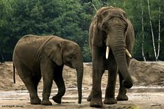 Big family (Michelle Schreuder) Tags: olifant elephant big groot grey grijs éléphant gros enorm huge familie family lafamille mother child moeder kind mère enfant animal dier zoo dierentuin afrika slurf proboscis slagtanden tusks beeksebergen hilvarenbeek safari michelleschreuder breda thenetherlands nederland lespaysbas noordbrabant nikond7200 wild wildlife