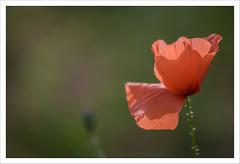 Uno degli ultimi (Outlaw Pete 65) Tags: red flower macro nature closeup colours natura poppy fiore rosso colori papavero verde green italia brescia lombardia sigma105mm nikond750 light luce