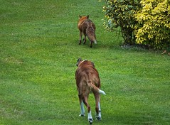 The (Slow) Chase Is On (Deepgreen2009) Tags: fox vixen chase garden boxer dog pet wildlife halfhearted home
