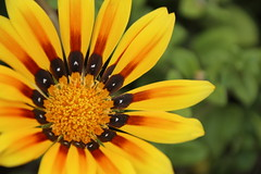 Yellow (pepa_carbassa) Tags: flower flor fleur yellow jaune amarillo groc spring printemps primavera macro macrophotographie