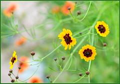 Almost Summer Flowers (tdlucas5000) Tags: flower flowers wildflowers macro closeup d850 sigma105 california spring bokeh creamybokeh yellow yellowflowers