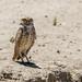 burrowing owl 6-15-19 (1 of 1)-2