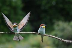 aterrizajes (antonio palmeras palmeras) Tags: ave animal aves naturaleza nature pájaro pájaros bird birds
