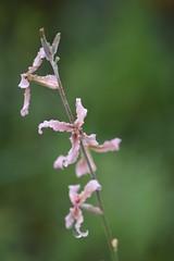 Matthiola fruticulosa (esta_ahi) Tags: huesca matthiola fruticulosa matthiolafruticulosa alhelítriste alhelídecampo cruciferae brassicaceae flor flora flores silvestres pink olvena somontano somontanodebarbastro aragón spain españa испания