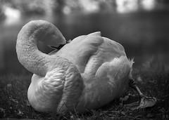 Swan Cranes Neck (8451) [2] 4 ((8_8)) Tags: birds bird wildlife animals blackandwhite blackwhite sonya7ii sonyfe70200mmf28gmoss sony photography