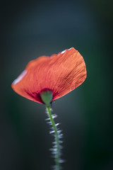 Une flamme vacillante dans la nuit / A flame in the night (PhlippeC.) Tags: coquelicot poppy abstract rouge orange red macro 100mm