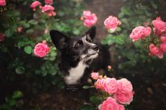 Timi (Photography Ilona Mikkonen) Tags: flower pink dogphotography dog canon dogphotographer pet hund