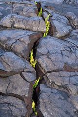 Ferns Return (dfinney23) Tags: dfinney23 2015 hawaii bigisland lava fern