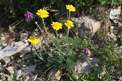 Anthemis marschalliana Lago-Naki July 2018 (Aidehua2013) Tags: anthemis marschalliana asteraceae asterales plant flower lagonaki maikopdistrict adygea russia caucasus