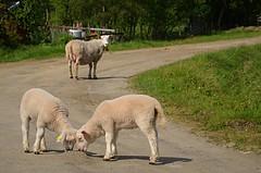 come on children, come on......... (KvikneFoto) Tags: lam lamb sau sheep bokeh tamron nikon