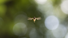 Syrphe come from space (PhlippeC.) Tags: syrphe insecte volant macro 100mm bokeh vert green syrphid