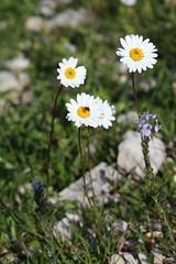 Tripleurospermum caucasicum Lago-Naki July 2018 (Aidehua2013) Tags: tripleurospermum caucasicum asteraceae asterales plant flower lagonaki maikopdistrict adygea russia caucasus