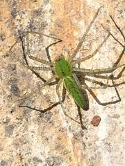 Araña Lince (allozano2002) Tags: aragnidos verde lince color vista flirck