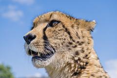 Attentive Sithle (Tambako the Jaguar) Tags: cheetah big wild cat male close portrait face looking sky clouds attentive lionsafaripark johannesburg southafrica nikon d850