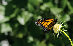 m o n a r c h (epiclectic) Tags: butterfly flower garden macro monarch wildlife nature beauty insect