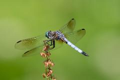 Blue Dasher (maractwin) Tags: pachydiplaxlongipennis andorrameadow bluedasher dragonflies pennsylvania philadelphia unitedstatesofamerica