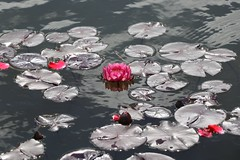 Lotos in a grey surrounding (michael.heucke) Tags: plant water grey wasser lotus pflanze lotusflower lotos lotosflower lotusblume lotosblume