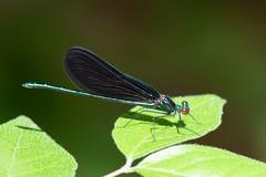 Ebony Jewelwing (maractwin) Tags: calopteryxmaculata andorrameadow damselflies dragonflies ebonyjewelwing pennsylvania philadelphia unitedstatesofamerica