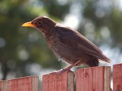 Blackbird (Simply Sharon !) Tags: blackbird bird wildlife britishwildlife nature gardenbird inthegarden gardenvisitor june