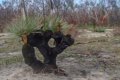 DSC01253 (slackest2) Tags: grass tree black boy aldinga srub south australia bush burnt sand