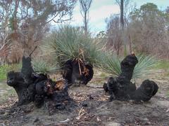 DSC01258 (slackest2) Tags: grass tree black boy aldinga srub south australia bush burnt sand yacca