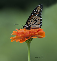 Monarch on Zinnia (Diane G. Zooms---Mostly Off) Tags: monarchonzinnia monarch butterfly nature dianegiurcophotography specanimal