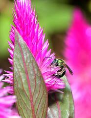 Metallic Green Sweatbee (redfish1957) Tags: bees bee nature nikond7500 nikon85mmmicro nectar macro