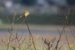 A Saturday Stroll whilst the sun shines for a wee while (Nicky ... www.vianne.co.uk) Tags: birds scotland lossiemouth linnet stonechat warbler wildlife
