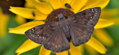 Horace's Duskywing (redfish1957) Tags: butterflies skipper darter nature native natural nikond7500 nikon85mmmicro macro