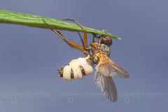 Fly Death Fungus (Entomophthora muscae) (cholmesphoto) Tags: entomophthora entomophthoramuscae entomophthoraceae entomophthorales flydeathfungus fungi insectdestroyers zygomycetes zygomycota fungus nature wildlife