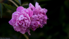 Pink the beautiful. (Thea Prum) Tags: springgarden flowers closeup sony a7riii samyang 85mm f14