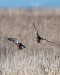 Mallards (Shore Birder) Tags: delta britishcolumbia canada mallard duck waterfowl reifelmigratorybirdsanctuary reifelrefuge reifel anasplatyrhynchos