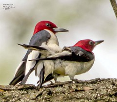Red-headed Woodpeckers. (rumerbob) Tags: redheadedwoodpecker woodpecker bird birdwatching birdwatcher wildlife wildlifephotographer wildlifewatcher nature naturewatcher naturephotography canon7dmarkii canon100400mmlens