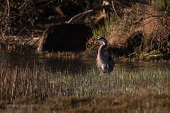 Great Blue Heron (soundstruck) Tags: pointreyesnationalseashore greatblueheron inverness