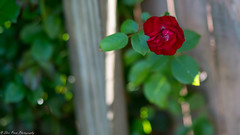 A lone rose on the fence. (Thea Prum) Tags: springgarden flowers closeup sony a7riii samyang 85mm f14