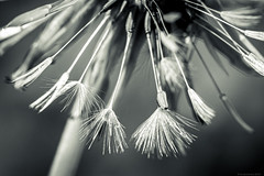 damp (rich lewis) Tags: macro macrophotography nature dandilion splittonning richlewis