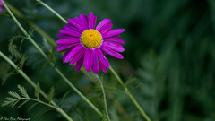 A glorious purple aster. (Thea Prum) Tags: springgarden flowers closeup sony a7riii samyang 85mm f14