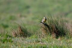 Western Meadowlark (soundstruck) Tags: pointreyesnationalseashore westernmeadowlark