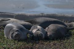 Drake's Beach Elephant Seals (soundstruck) Tags: pointreyesnationalseashore tuleelk elephantseal