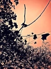 Mi otoño en contraluz (Aprehendiz-Ana Lía) Tags: nikon flickr otoño árboles ramas contraluz argentina mdq hojas secas autum frágiles patrónorgánico naturaleza nature parque city color desnudos analialarroudé imagen monocromático