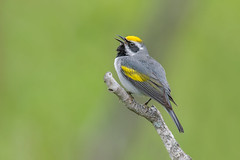 Golden-winged Warbler (Joe Branco) Tags: green ontario canada macro bird nature birds branco photoshop nikon joe wildlifephotographer lightroom naturephotographer goldenwingedwarbler nikond850 joebrancophotographer