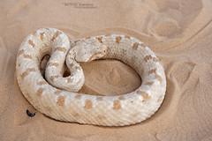 Pseudocerastes fieldi (Matthieu Berroneau) Tags: sony alpha ff 24x36 macro nature wildlife animal fe sonya7iii sonya7mk3 sonyalpha7mark3 sonyalpha7iii a7iii 7iii 7mk3 sonyilce7m3 herp herping trip israel israël reptile reptilian reptilia serpent 90 f28 g oss fe90f28macrogoss sonyfesonyfe2890macrogoss objectifsony90mmf28macrofe sel90m28g snake pseudocerastes fieldi pseudocerastesfieldi fields horned viper fieldshornedviper eye false trans jordanian eyehornedviper falsehornedviper transjordanianviper shefifon field trughornviper fieldtrughornviper falsa vipera cornuta falsaviperacornuta shepipon
