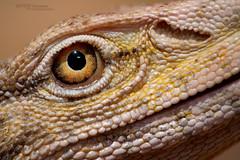 Varanus griseus (Matthieu Berroneau) Tags: sony alpha ff 24x36 macro nature wildlife animal fe sonya7iii sonya7mk3 sonyalpha7mark3 sonyalpha7iii a7iii 7iii 7mk3 sonyilce7m3 herp herping trip israel israël reptile reptilian reptilia lizard smaug dragon varan monitor desert monitordesert du désert varandudésert koah afor koahafor wüstenwaran 90 f28 g oss fe90f28macrogoss sonyfesonyfe2890macrogoss objectifsony90mmf28macrofe sel90m28g