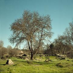Near Peroviseu (2) (lebre.jaime) Tags: portugal beira peroviseu field grass tree hasselblad 500cm distagon cf3560 epson v600 affinity affinityphoto film120 6x6 mf mediumformat squareformat analogic landscape nature kodak portra160120