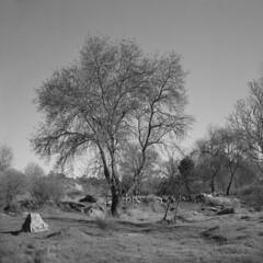 Near Peroviseu (2) - B&W (lebre.jaime) Tags: portugal beira peroviseu field grass tree hasselblad 500cm distagon cf3560 epson v600 affinity affinityphoto film120 6x6 mf mediumformat squareformat analogic landscape nature kodak portra160120 bw blackwhite noiretblanc pb pretobranco ptbw
