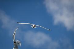 The Fire Within (A.Koponen) Tags: canon eosr eos ef70200mmf40l bird birds seagul nature sky cloud summer finland suomi kuopio
