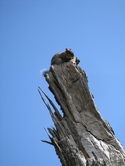 Squirrel high up in a dead tree (wallygrom) Tags: england sussex eastsussex brighton brightonpaviliongarden squirrel animal wildlife